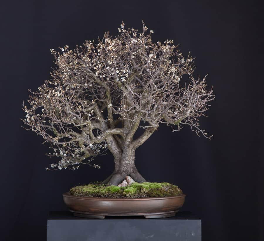 Prunus Cerasifera 06 Meleda Bonsai Studio